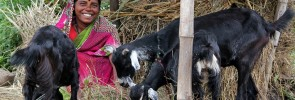 Image-of-Kashavva-Malage-Goat-Rearing-Business-Milaap.org