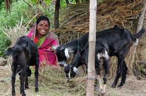 Image-of-Kashavva-Malage-Goat-Rearing-Business-Milaap.org
